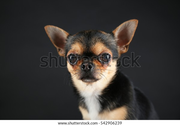 Small chihuahua dog on grey background