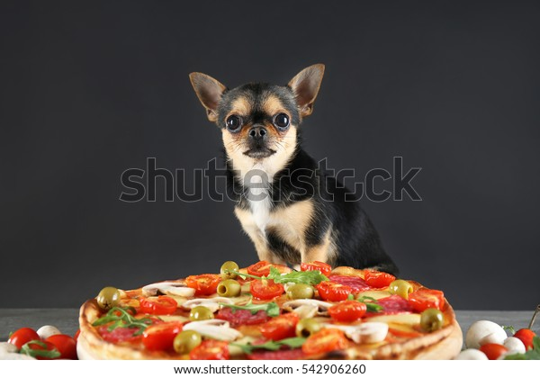 Small chihuahua dog with pizza on grey background