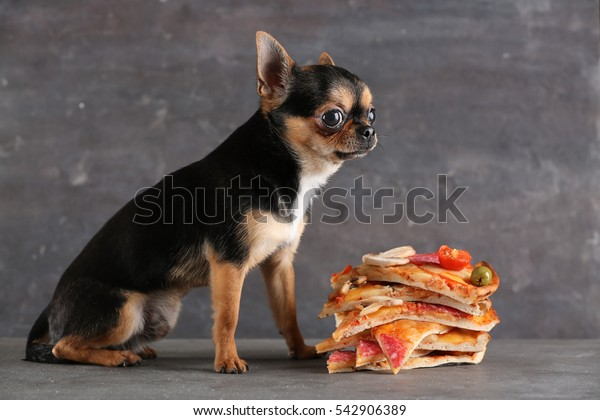 Small chihuahua dog and pizza slices on table