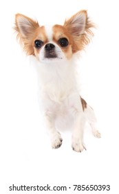 small chihuahua isolated on the white background