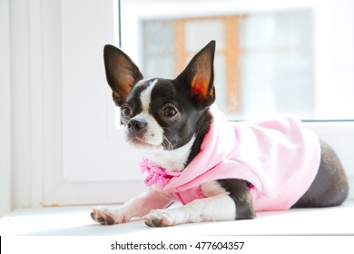 Small chihuahua on windowsill. Pink clothes for dogs