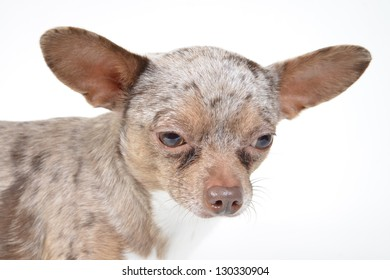 small chihuahua puppy dog on a white background