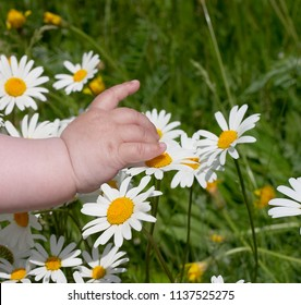 Small child hand touches the daisies in the green grass, spring time