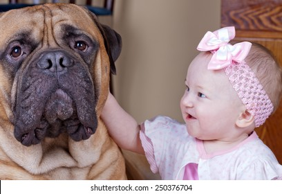small child with his darling huge bullmastiff.portrait of a friendly