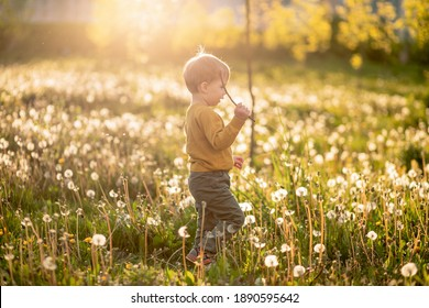 A small child plays in dandelions in a field of flowers in spring. selective focus