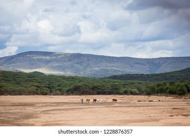 Small child walks cattle across a dry river bed in the Borana region of Ethiopia.
