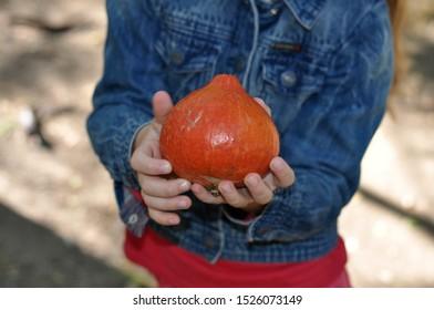 Small children's hands hold a small pumpkin. In the hands of a pumpkin. A small decorative pumpkin.Orange pumpkin.