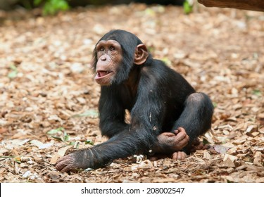 small chimpanzee in the zoo