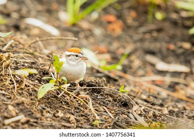 Small chipping sparrow looking for material to build its nest