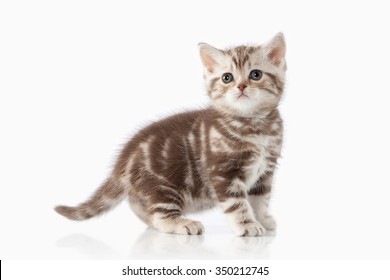 Small chocolate british kitten on white background