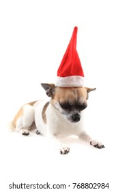 small christmas chihuahua isolated on the white background