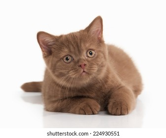 small cinnamon british kitten on white background