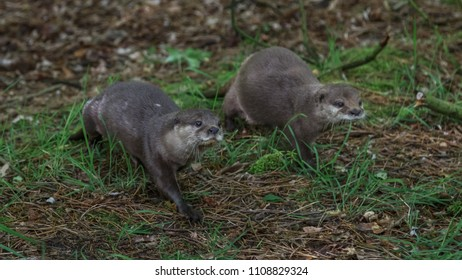 Small Claw Otters