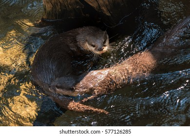 Small clawed otters swimming in a sunny day