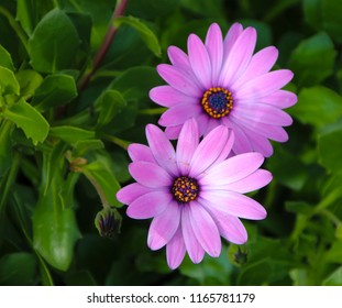 A small clump of cheerful hardy African daisy Osteospermum  plants from the Asteraceae species adds color to the winter landscape with white ,pink and purple  flowers.