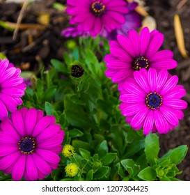 A small clump of cheerful purple African daisy Osteospermum  plants from the Asteraceae species adds color to the winter landscape with long lasting flowers.