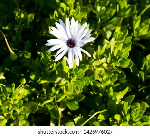 A small clump of hardy  African daisy Osteospermum  plants from the Asteraceae species adds color to the winter landscape with a profusion of white pink and purple  flowers.