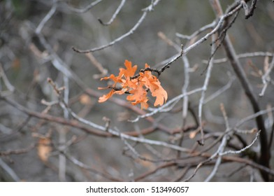 Small cluster of orange fall oak leaves clinging to barren branches
