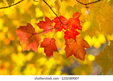 Small cluster of red leaves against a sea of yellow Fall color