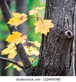 A small cluster of yellow maple tree leaves sprouting from a tree trunk