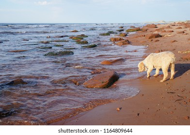 Small cockapoo dog cautiously tests the water on the red and rocky sand beaches of Prince Edward Island, Canada