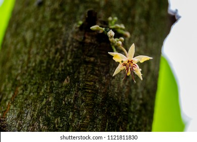 Small cocoa flowers grow on the tree trunk. The cocoa tree ( Theobroma cacao ) with bloom.