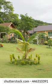 Small coconut tree in the home gardens.