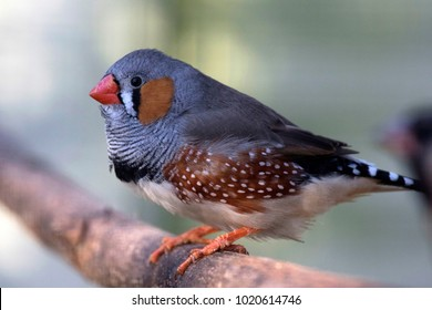 Small colored zebra finch is sitting a stick