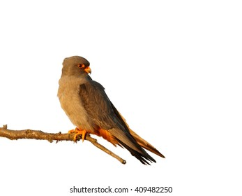 Small and colorful bird of prey, Red-footed Falcon, Falco vespertinus, perched on branch in the evening light, isolated on white background. Europe, Hungary.