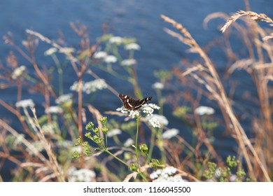 Small colorful butterfly on flowers of wild carrot near water