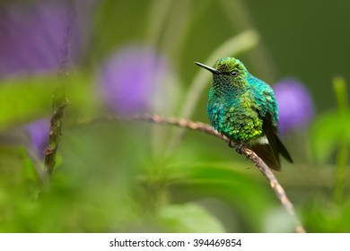 Small colorful shinning blue and green hummingbird, West Andean Emerald, Chlorostilbon melanorhynchus, perched on stem agains blurred violet  lavender flowers in background. Colombia.