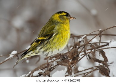 Small colorful, yellow and black passerine, Eurasian Siskin,Carduelis spinus, close-up male on branch covered by snow. Winter, Europe, Czech republic.