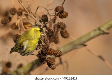 Small colorful, yellow and black passerine, Eurasian Siskin,Carduelis spinus,  feeding on catkins, male hanging on branch in early spring. Europe, Czech republic.