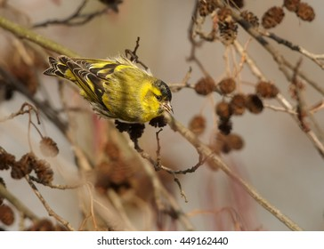 Small colorful, yellow and black passerine, Eurasian Siskin,Carduelis spinus,  in typical pose feeding on catkins, male hanging on branch in early spring. Europe, Czech republic.