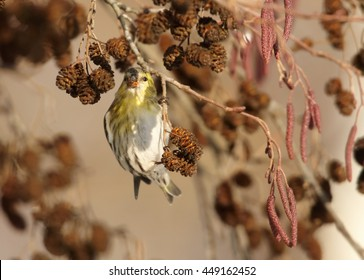 Small colorful, yellow and black passerine, Eurasian Siskin,Carduelis spinus,  feeding on catkins, female hanging on branch in early spring. Europe, Czech republic.