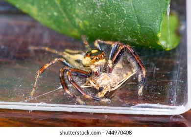 Small and colourful Male Two-striped Jumping Spider (Euarthropoda: Chelicerata: Arachnida: Araneae: Araneomorphae: Salticidae: Telamonia dimidiata) crawling on the floor eating moth as the food prey