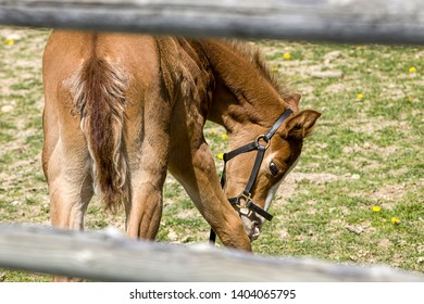 A small colt behind a wooden fence grazes on the gras near Hayden, Idaho.