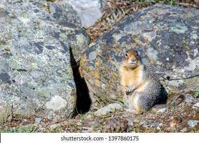 A small columbian ground squirrel appear somewhat camoflauged by similar colored rocks in north Idaho.