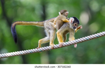 Small common squirrel monkeys (Saimiri sciureus), selective focus