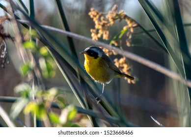 Small Common Yellowthroat perched on tree branch soaking up some of the early morning sunlight with sharp beak looking to left.