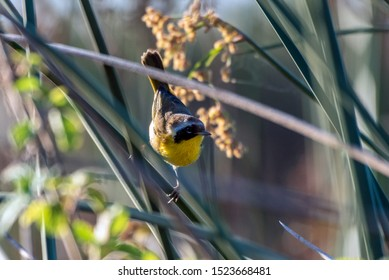 Small Common Yellowthroat perched on tree branch soaking up some of the early morning sunlight with sharp beak looking to right.
