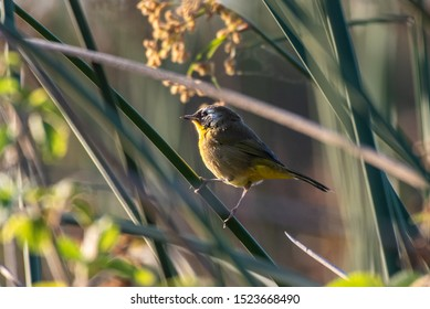 Small Common Yellowthroat perched on tree branch soaking up some of the early morning sunlight shinging through the vegetation.