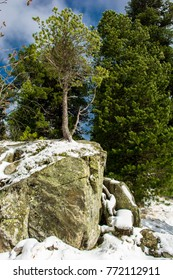 Small Conifer on Top of Snowy Rock in Winter