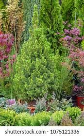 Small conifer tree in garden nursery