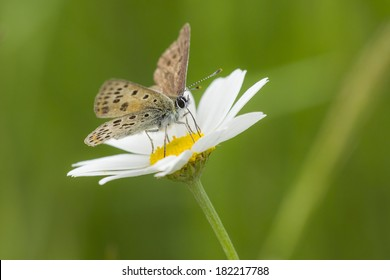 Small copper butterfly pollinating on a oxeye daisy in summer.