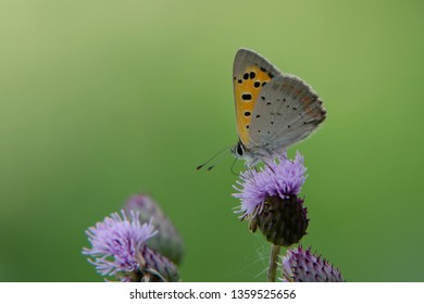 Small Copper (Lycaena phlaeas), photograped on 31 July 2013 near Rhederbrug, The Netherlands