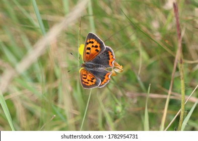 Small copper in the moorland