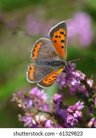 Small Copper on heath (Lycaena phaeas)