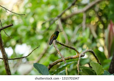 A small copper-rumped hummingbird, latin name amazilia tobaci, resting on a branch in tropical woodland in Tobago.