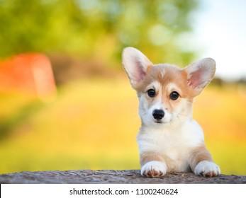 small corgi puppy